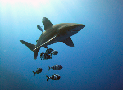 Oceanic Whitetip Shark, Credit: Michael Aston