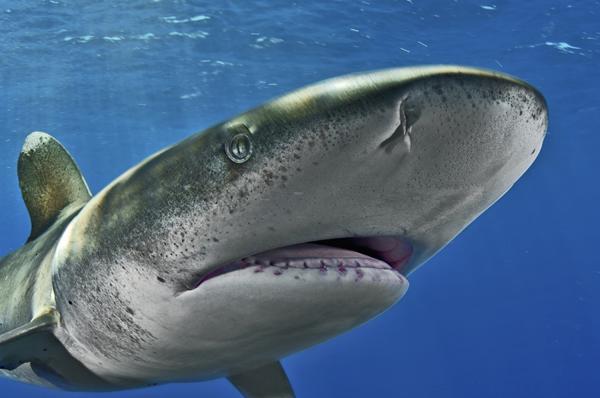 Portrait of an Oceanic Whitetip shark, (Charcharhinus longimanus). The Bahamas. Photo Credit: Brian Skerry